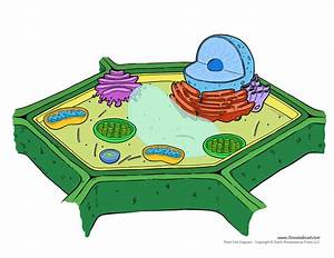 Plant Cell Diagram - Unlabeled