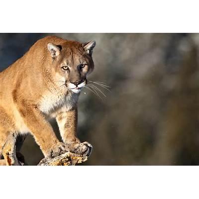 Puma concolor 17 by catman-suha on DeviantArt