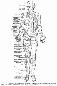 Diagram Of Distribution Of Spinal Cutnaeous Nerves On Dorsalsurface Of Body
