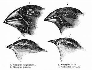 Darwin U0026 39 S Finches