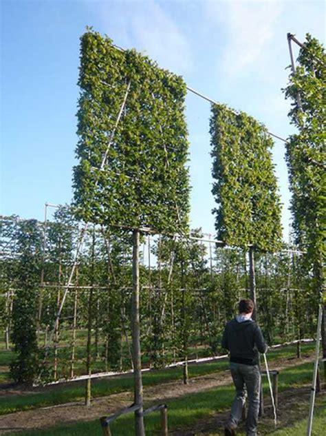 carpinus betulus hainbuche weissbuche hochstamm