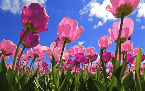 Hd Tulip Background by Tulip Wallpapers Top Free Tulip Backgrounds