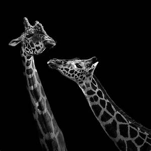 Two Giraffes In Black And White Photograph by Lukas Holas