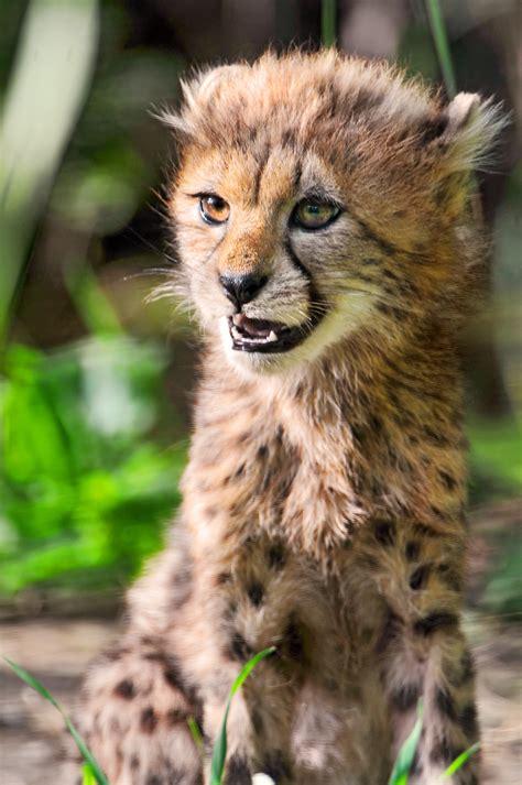 sitting cheetah cub flickr photo sharing