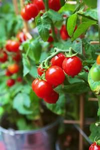 Plant Tomate Cerise : planter des tomates cerises ~ Melissatoandfro.com Idées de Décoration