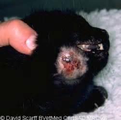cat bite woodcroft veterinary factsheet cat bite abscesses