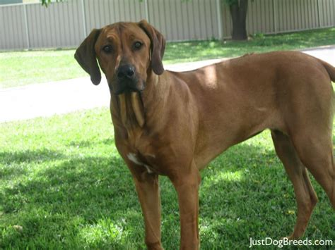 Do Rhodesian Ridgebacks Shed by Molly Rhodesian Ridgeback Breeds