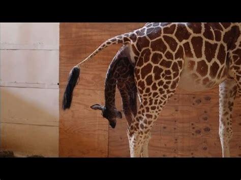 york une girafe accouche en direct youtube