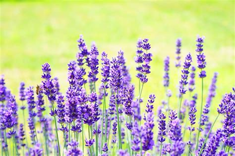 Bilder Mit Lavendel by Lavender Flowers Flower 183 Free Photo On Pixabay