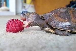 Turtle Eats Raspberry Daily Picks And Flicks