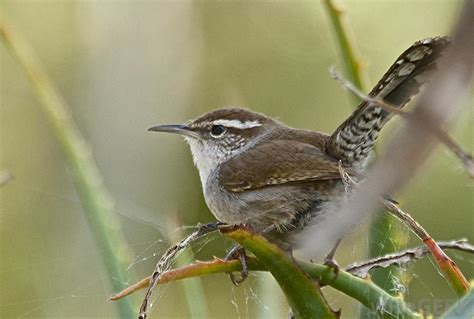 what is a wren with pictures