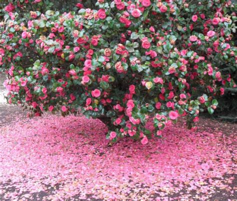bush in japanese camellia japanese bush with full blooming with tons of camellia petals on the ground png hi res
