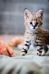 Baby serval... | Big cats | Pinterest | Serval, Animals ...