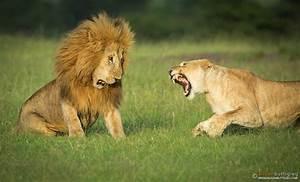 Lions | Alison Buttigieg Wildlife Photography
