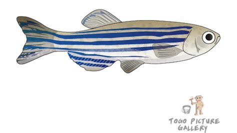 File:Zebrafish.png - Wikimedia Commons