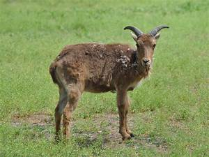 Barbary sheep /Ammotragus lervia/