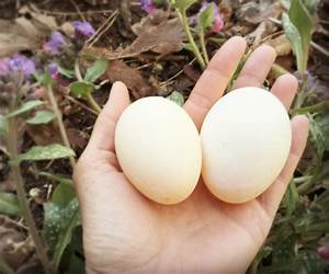 Raising ducks: Care tips, and the benefits of eggs and ...