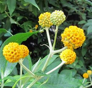 plant with orange ball flowers