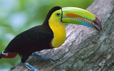 toucans, Nature, Birds Wallpapers HD / Desktop and Mobile ...