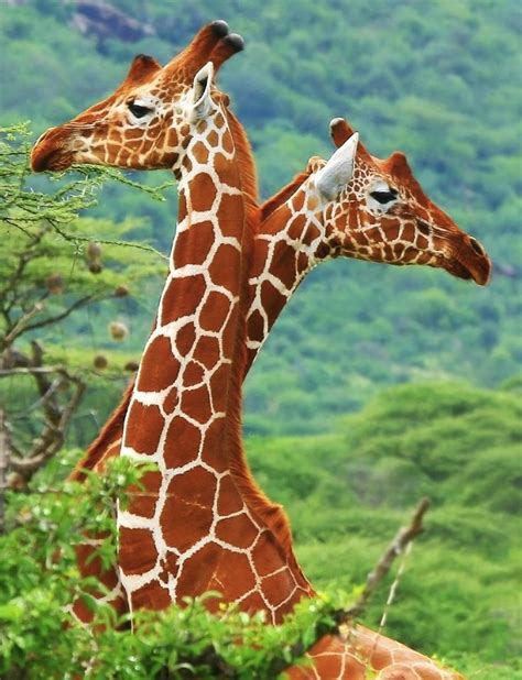 what color are giraffes 75 best giraffes stand up stand images on