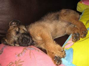 Ruby-Do-Do, the very cute 11 week old Border Terrier puppy ...