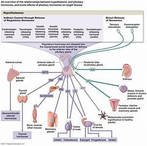 Endocrine System 2 At Washtenaw Community College