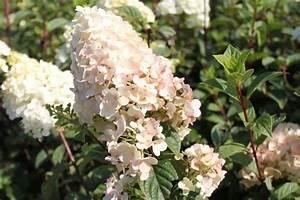 Hydrangea Paniculata Schneiden : die besten 25 rispenhortensie ideen auf pinterest ~ Lizthompson.info Haus und Dekorationen