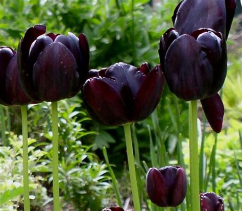 5 prechilled tulip bulbs of the