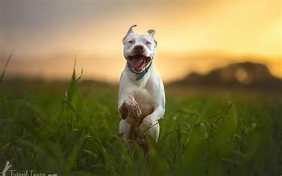 Pitbull Dog Running Wallpapers Breed Animals 4k
