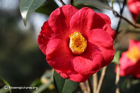 camellia pictures flower camellia flower picture 75