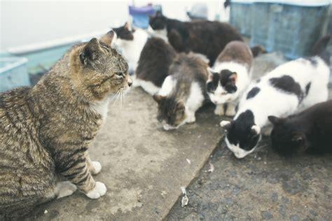 japanese island overrun  hundreds  stray cats