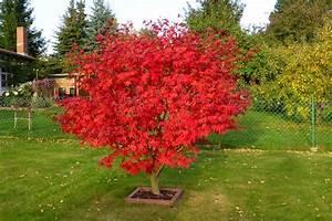 Roter Ahorn Baum : 1000 ideas about japanischer ahorn on pinterest ahorn ~ Michelbontemps.com Haus und Dekorationen