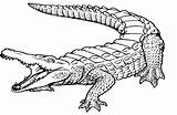 Crocodile Coloring Pages Baby Printable Getcolorings Hunter sketch template
