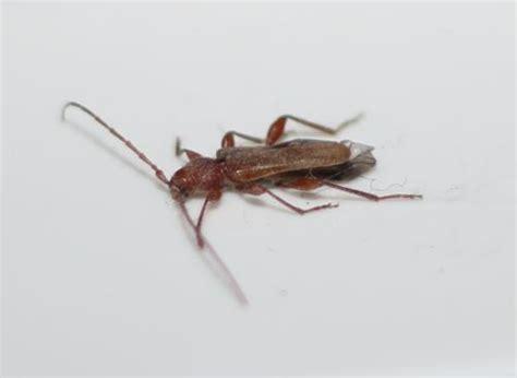 facade cuisine chene brut phymatodes testaceus insecte xylophage sortant de mon