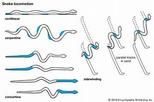 Snake  Locomotion