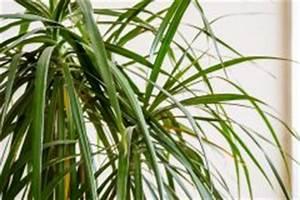 Palme Umtopfen Wurzeln Abschneiden : kentia palme pflegen gie en d ngen schneiden und mehr ~ Frokenaadalensverden.com Haus und Dekorationen
