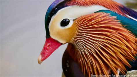 manhattan mystery    mandarin duck