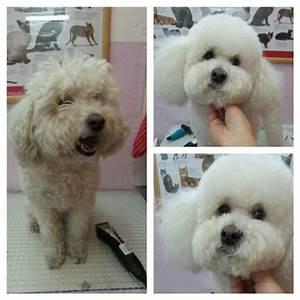 Poodle corte bichon cortes de pelo perritos Pinterest Caniches
