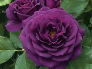 Purple Rose Bush