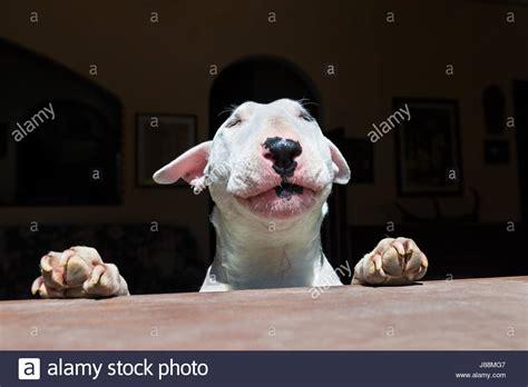 bull terrier black  white stockfotos bull terrier