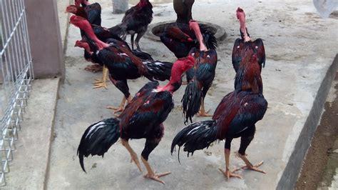 Penggemar judi sabung ayam atau adu ayam online tentunya sudah mengenal situs judi s128 yang menghadirkan seperti di negara filipina, kamboja, vietnam, myanmar dan juga di indonesia. AYAM SAIGON DARI VIETNAM DAN SEJARAHNYA | Agen Sabung Ayam ...