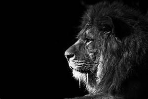 Lion King BW | This is the previous image of the adult ...
