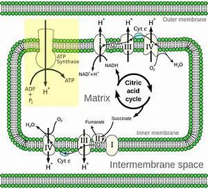 5 2  Electron Transport  U0026 Oxidative Phosphorylation