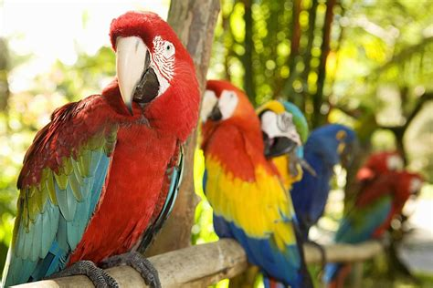 Macaws Fun  Ee  Facts Ee   About The Largest Parrots
