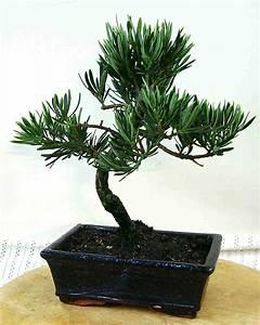 Eibe carmens bonsai garten online shop fur bonsai pflanzen for Feuerstelle garten mit bonsai led