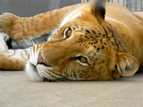 Cross Between Lion and Tiger Liger