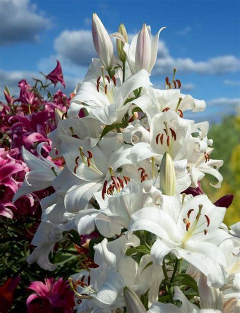 Neparasti lielas un skaistas. Tādas ir koku lilijas ...