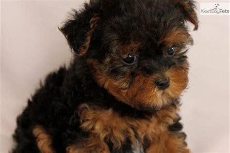 meet tabitha  cute yorkiepoo yorkie poo puppy  sale