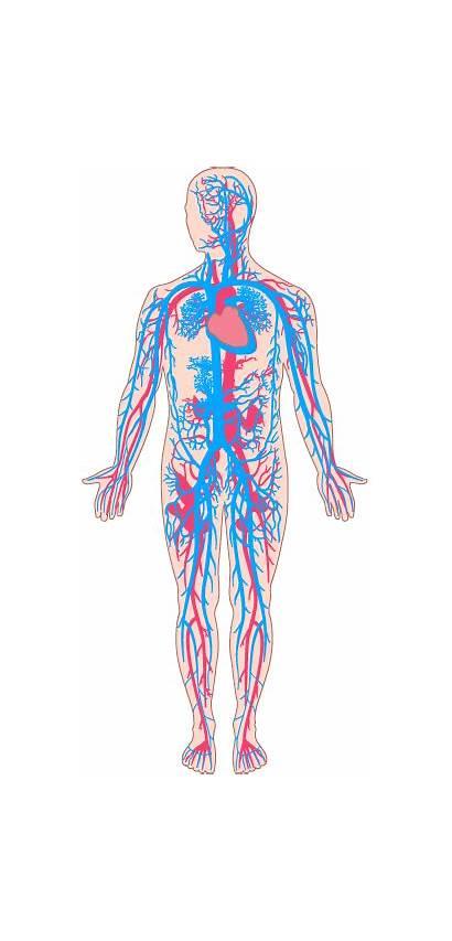 Human Veins Transparent Anatomy Clipart Besides Teach