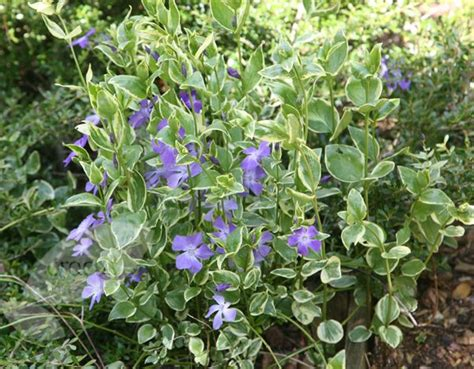 periwinkle perennial vinca major variegata shade loving perennial plants pinterest